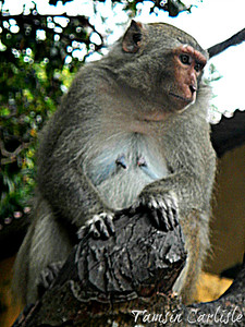 Crab-eating Macaque - female