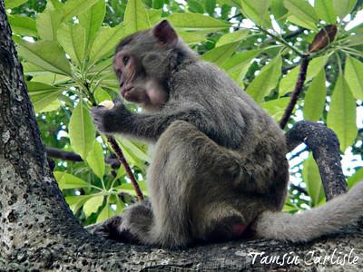 Crab-eating Macaque - juvenile