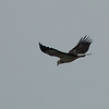 White-bellied Fish Eagle