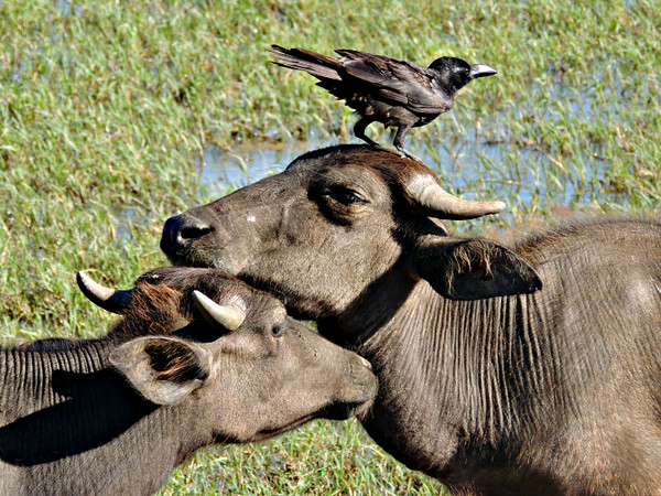 Crow perched on Wild Asian Water Buffalo