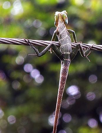 Green Garden Lizard - female