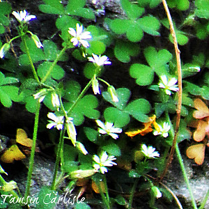 Common Mouse-ear Chickweed
