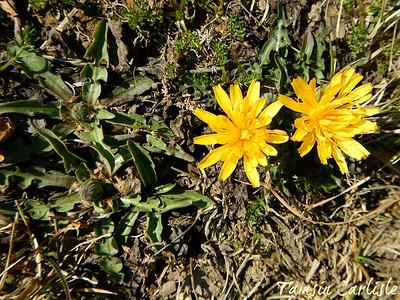 Family: Asteraceae Uttarakhand, India