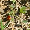 Oblong Ladybird