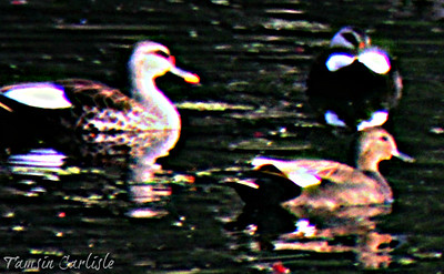 Spot-billed and Ferrugenous Ducks