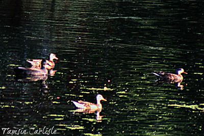 Spot-billed Ducks and Red-billed Teal