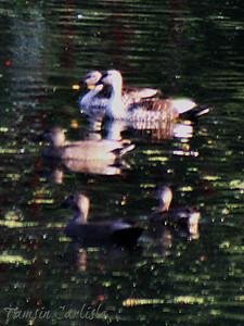 Spot-billed Ducks, Gadwall and Red-billed Teal