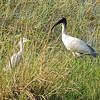 Intermediate Egret and Black-headed/Oriental White Ibis
