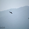Yellow-billed/Alpine Choughs