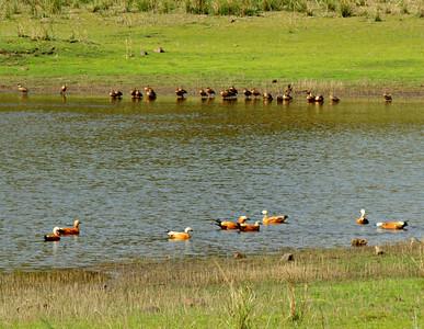 Lesser Whistling Ducks and Ruddy Shelducks