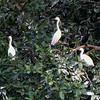 Little Egrets and Indian Cormorants