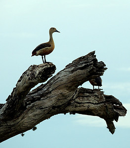 Lesser/Indian Whistling Duck