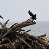 Jungle Crows on the beach