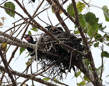 Indian Cormorant Chicks in Nest