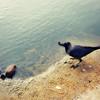 Jungle Crows