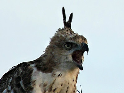 Crested Hawk-Eagle