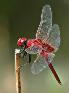 Oriental Scarlet Dragonfly (male)