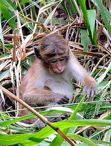 Tocque Macaque