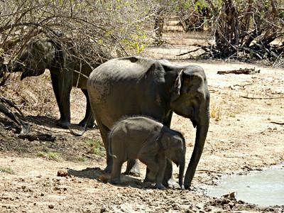 Sri Lankan Elephants - females and calf