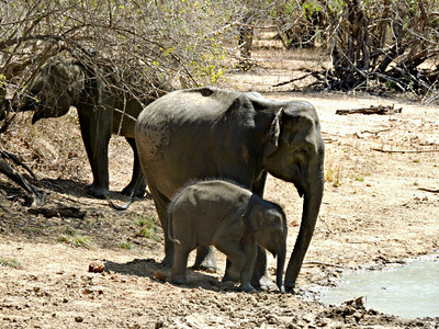 Sri Lankan Elephants - females and calf