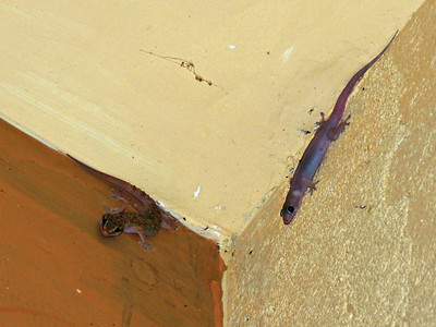 Sri Lankan House Gecko and Four-clawed Gecko