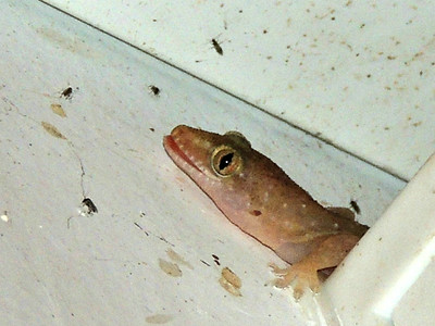 Sri Lankan House Gecko
