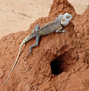 Oriental Garden Lizard on termite mound