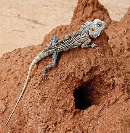 Oriental Garden/ Common Garden/ Changeable Lizard