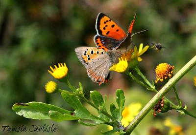 Butterflies and Moths (Kelebekler)