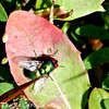 Greenbottle on Dandelion Leaf
