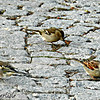 Chaffinch Pair and House Sparrow