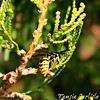 Common Wasp on Cypress