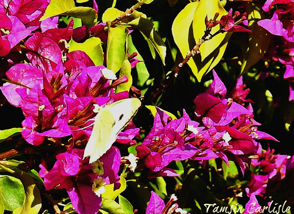 White Butterfly on Bougainvillea