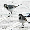 White Wagtails
