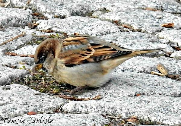 House Sparrow - male