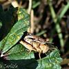 Short-horned Grasshopper Pair