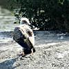 Caspian Gull - juvenile