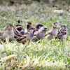 House Sparrow Flock