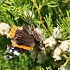 Red Admiral on Cypress