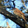 European Tree Sparrow