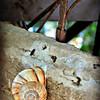 Turkish Snail