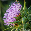 Soldier Beetles on Thistle