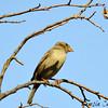 House Sparrow - female