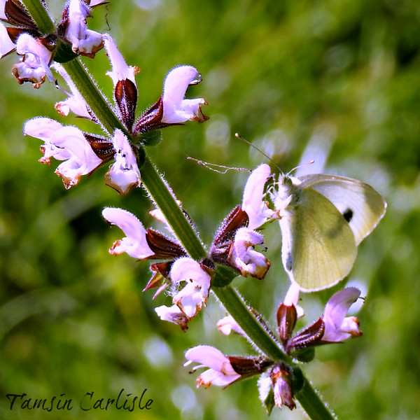 Large White Butterfly on Sage
