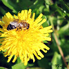 Honeybee on Dandelion