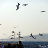 Mediterranean and Caspian Gulls
