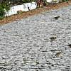 Chaffinch Flock - males