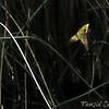 Arrowhead/Water Plantain