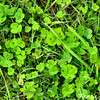 Spotted Medick