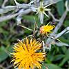 Yellow Star-thistle